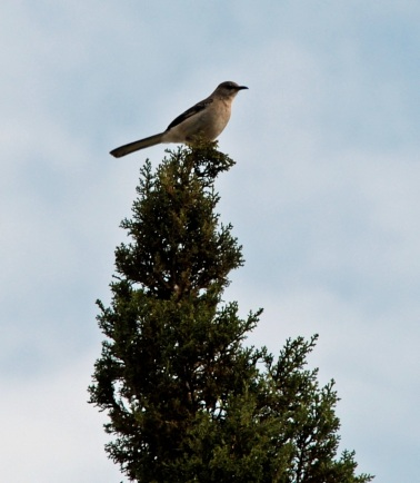 Mockingbird Cropped 1