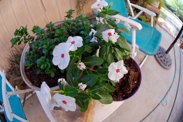 Vinca on patio