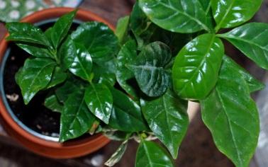 coffee plant 1