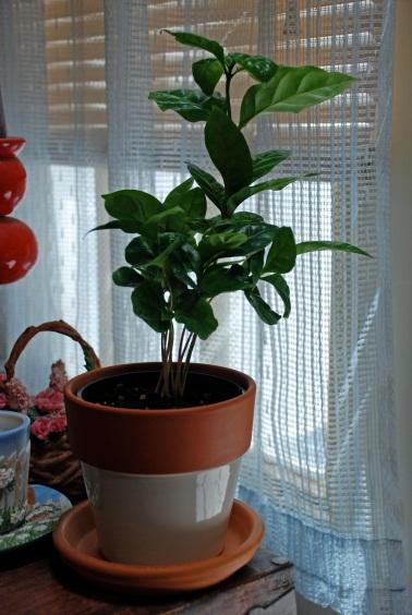 coffee plant 2