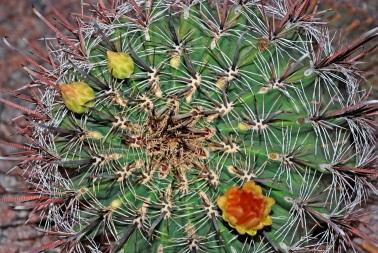 Barrel Cactus 3