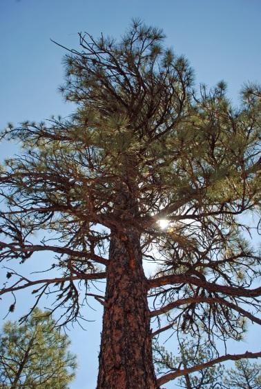 Pine and sun