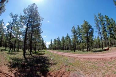 Pine on road 2
