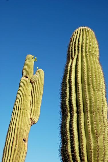Two Saguaros