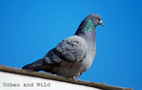 Pigeon Urban and Wild