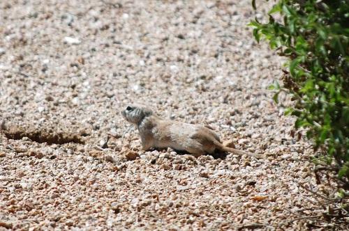 Hi! I'm a desert-dwelling ground squirrel.