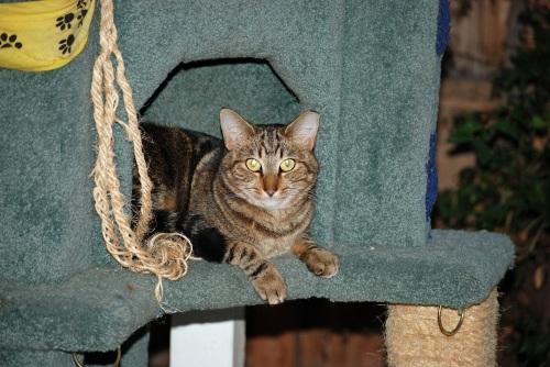 Stripey, Loving the Cat Tree