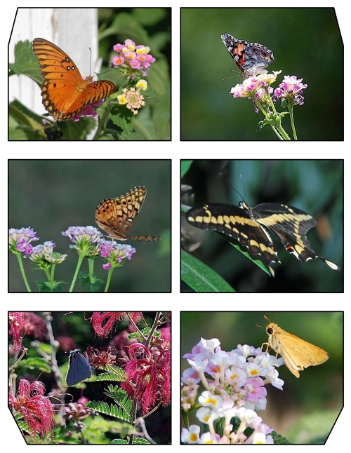 Gulf Fritillary, Painted Lady Variegated Fritallary, Giant Swallowtail Gray Hairstreak, Skipper