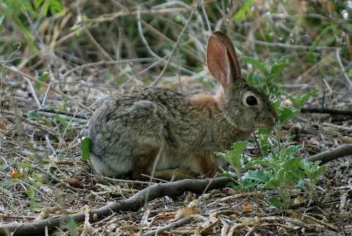 Cottontail_edited-1