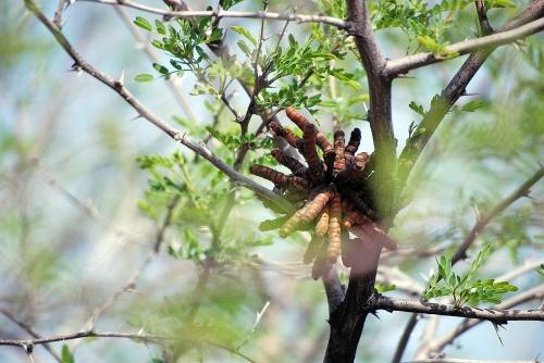 Screwbean Mesquite