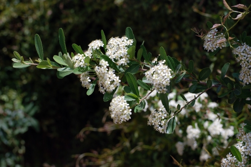 Pyracantha Blooms
