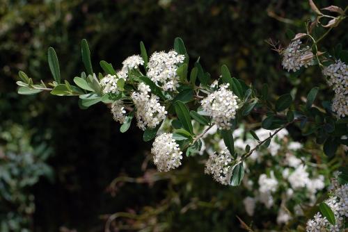 Pyracantha Blooms