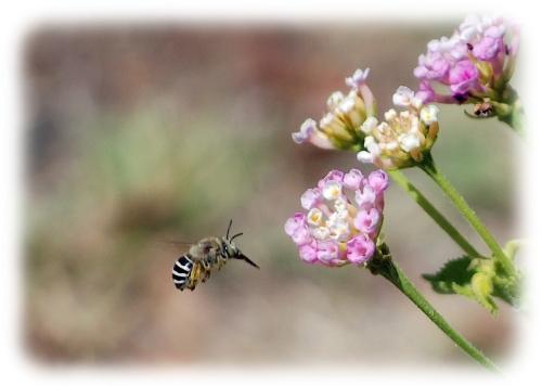 Bee on Lantana soft_edited-1