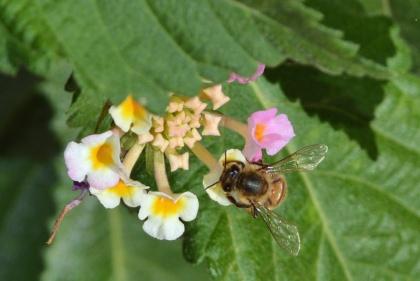 Bee Lan