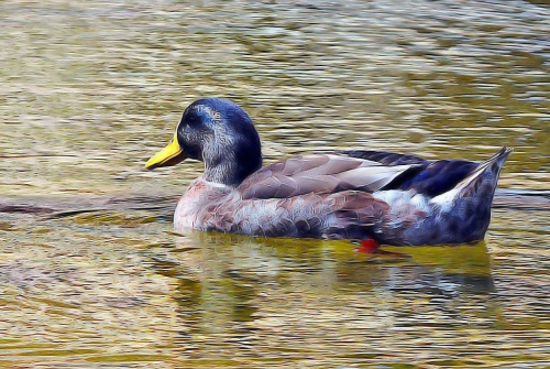 Duck at Watson