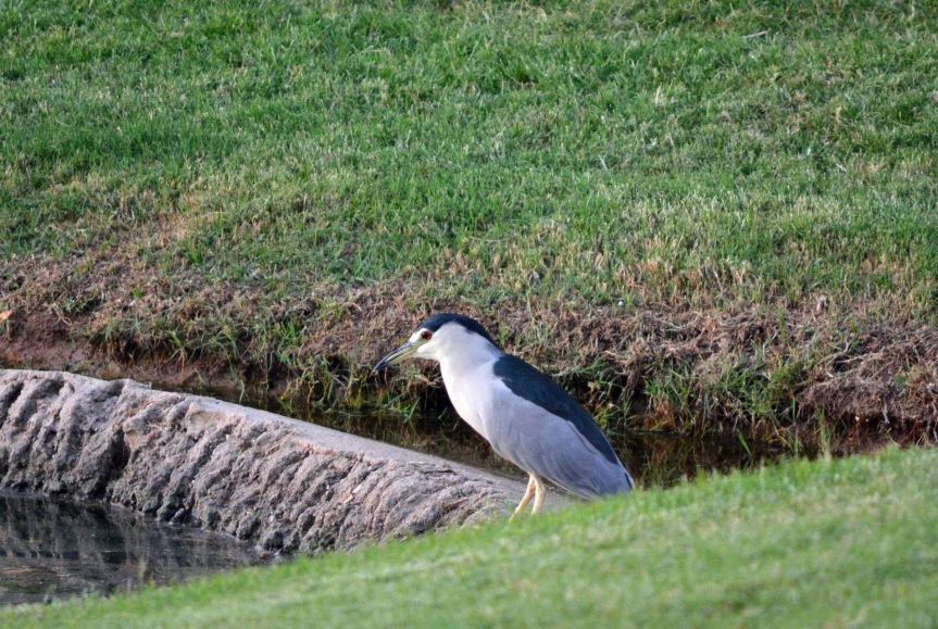 Heron Black-Crowned Night 10.2.13
