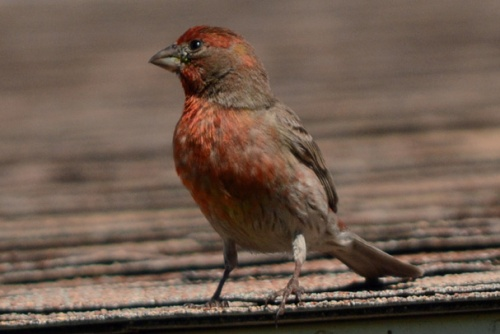Finch Roof 3.8.14 crop