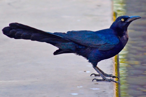 Grackle at WF