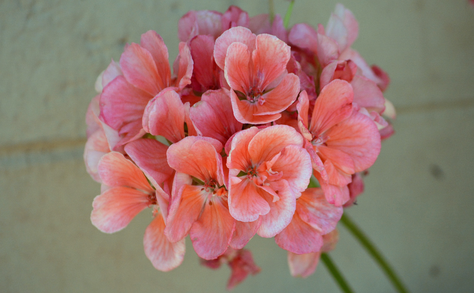 Pink Geraniums_edited-1