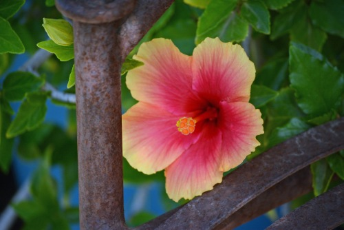 Hibiscus by Bench