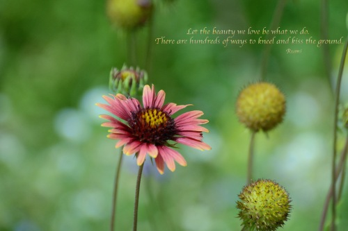 Flower DBG with Rumi quote