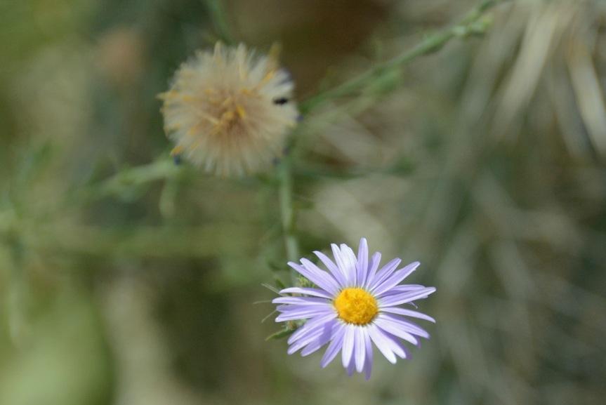 Purp Flower DBG