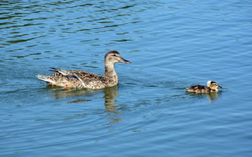 Mallard and Crested Baby