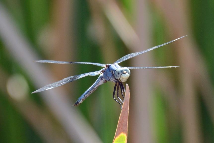 Blue Dfly