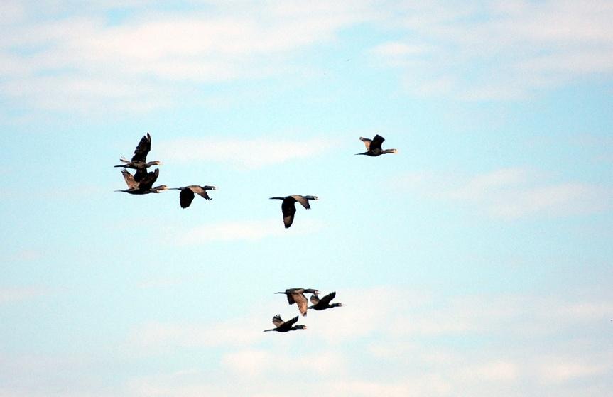 Cormorant Flock