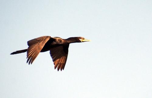 Cormorant Fly
