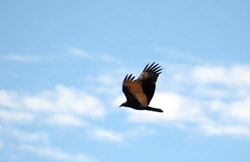 Hawk Fly