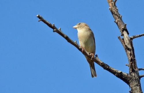 House Sparrow 9.13.14