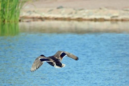 Mallard Fly