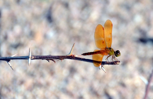 Mexican Amberwing Dfly 3