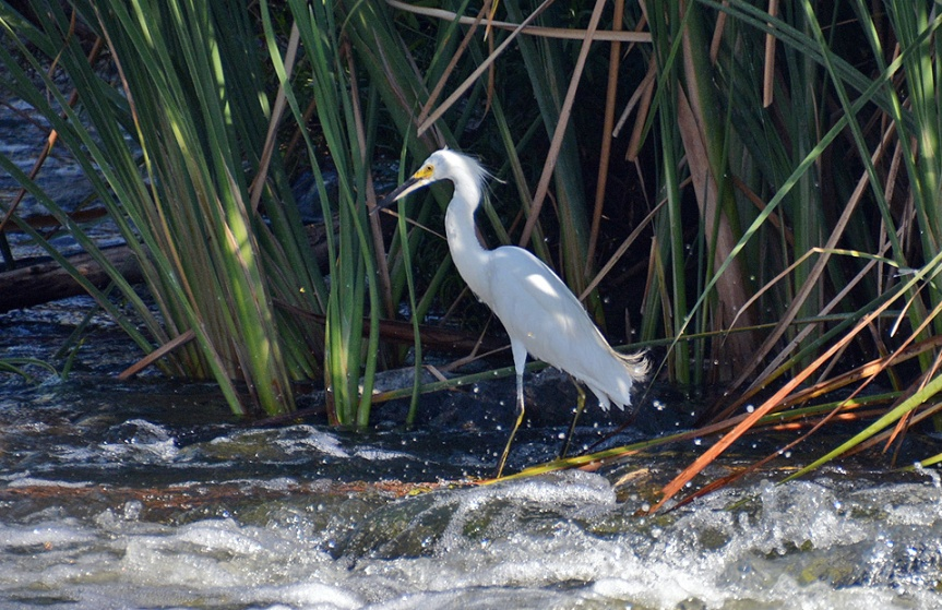 S Egret