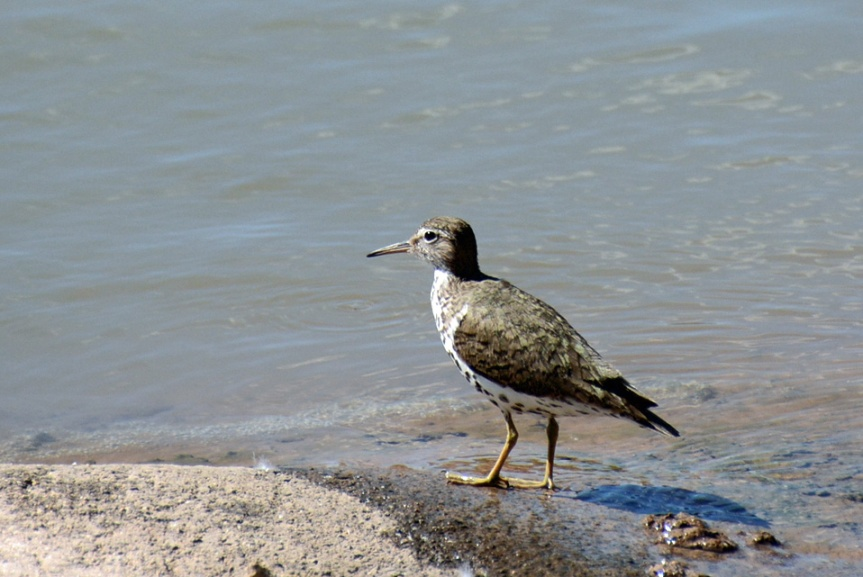 Spotted Sandpiper 2