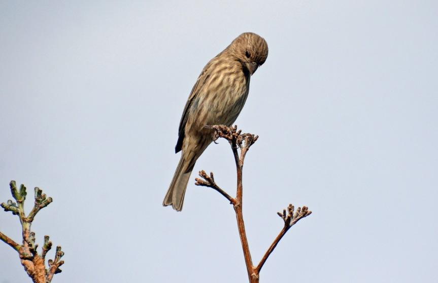 Finch Praying
