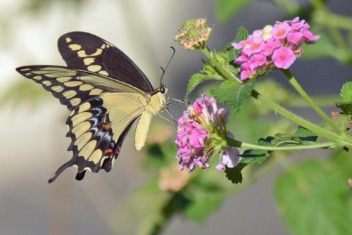 Giant Swallowtail 10.11.14