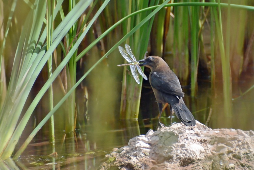Grackle and Catch