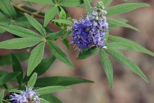 Phillip's Purple Bush
