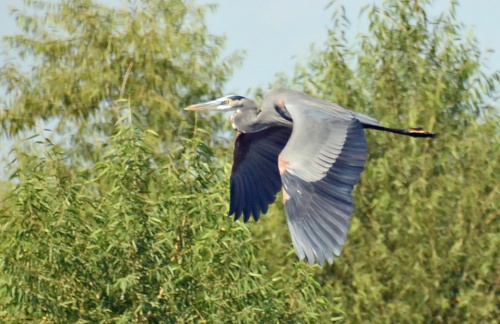 GBH Fly