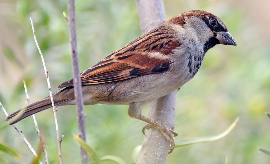 House Sparrow 3