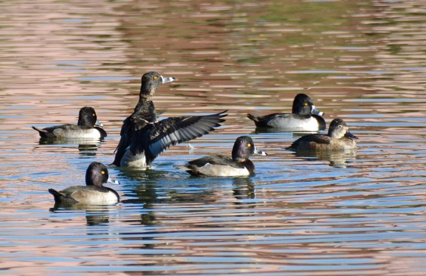 RN Duck Flock