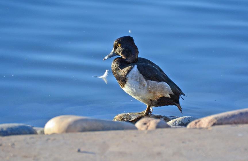 RN Duck Male