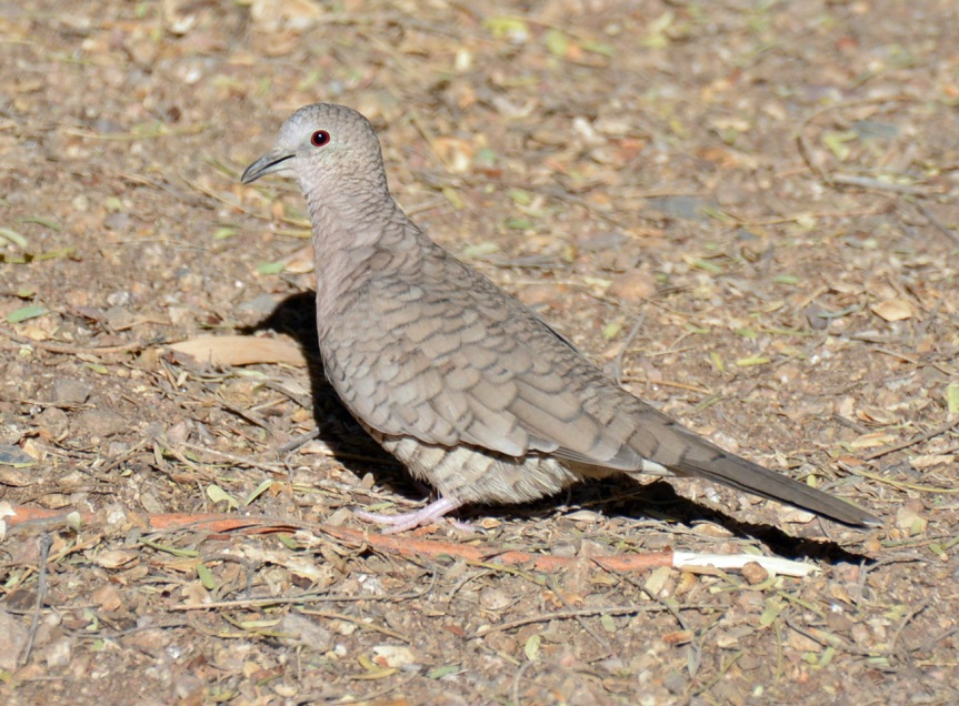 Inca Dove_edited-1