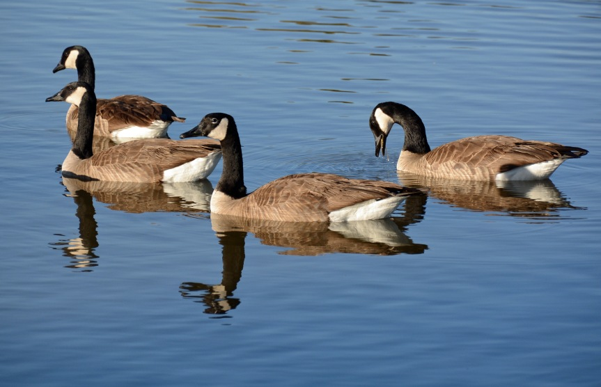 Canada Geese_edited-1