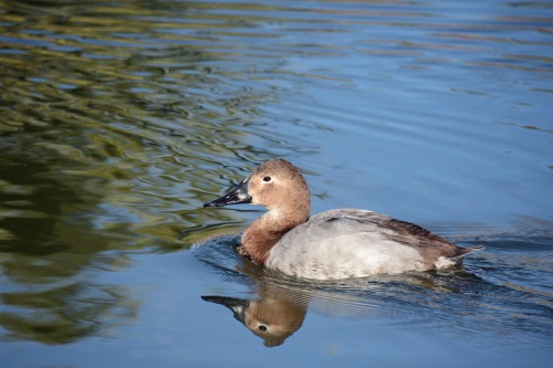 Canvasback 2