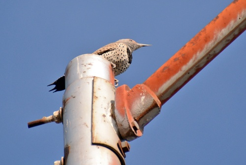 Flicker Female 2