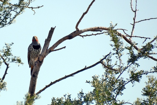 Flicker Male
