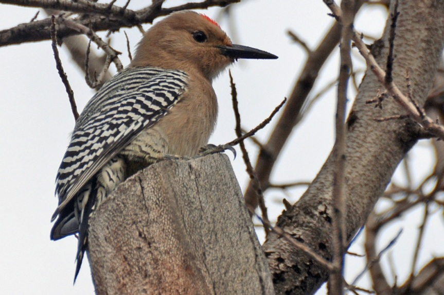 Gila Woodpecker 1.11.15